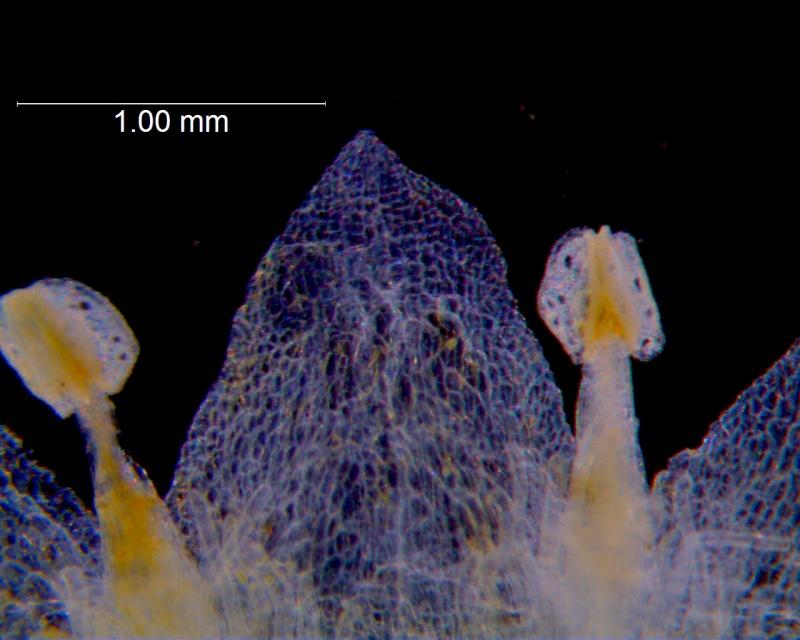Cuscuta campestris, corolla lobe detail (taken by Kristy Dockstader)