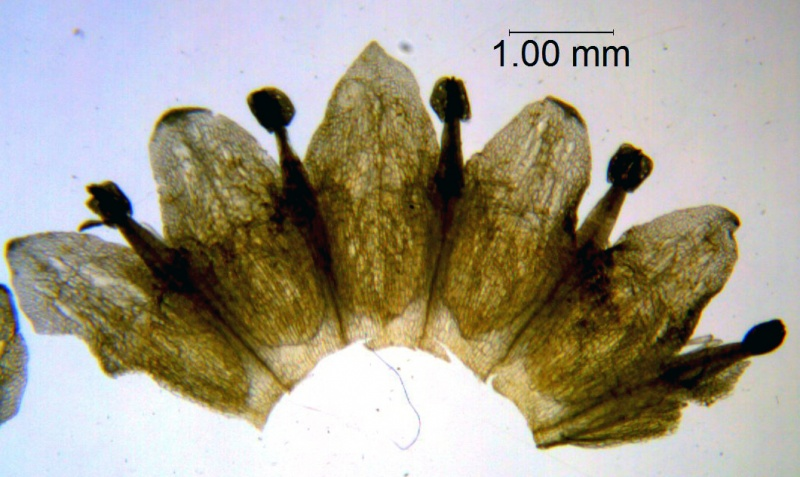 Cuscuta campestris, corolla dissected (taken by Kristy Dockstader)
