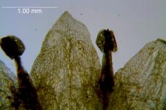 Cuscuta campestris, corolla lobes detail (taken by Kristy Dockstader)