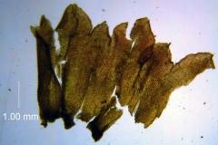 Cuscuta prismatica, calyx dissected