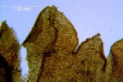 Cuscuta prismatica,calyx lobes details