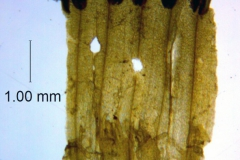 Cuscuta prismatica, corolla dissected