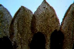 Cuscuta prismatica, corolla lobes detail