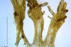 Cuscuta prismatica, scales