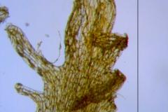 Cuscuta prismatica, scale fimbriae