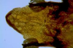 Cuscuta parviflora, corolla lobe details
