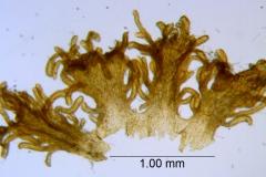 Cuscuta parviflora, scales