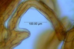 Cuscuta parviflora, scale fimbriae