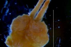 Cuscuta parviflora, gynoecium