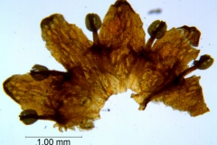 Cuscuta parviflora, corolla dissected