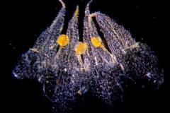 Cuscuta punana, corolla dissected