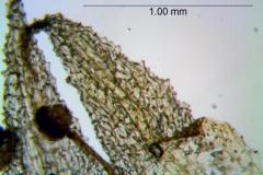 Cuscuta punana, corolla lobes detail
