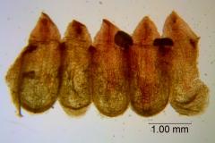 Cuscuta rubella, corolla dissected