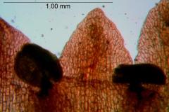 Cuscuta rubella, corolla lobes detail
