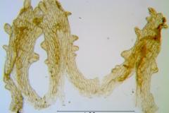 Cuscuta rubella, scales