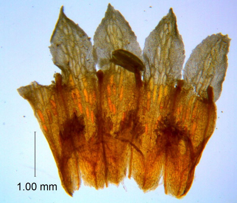 Cuscuta serrata, corolla dissected