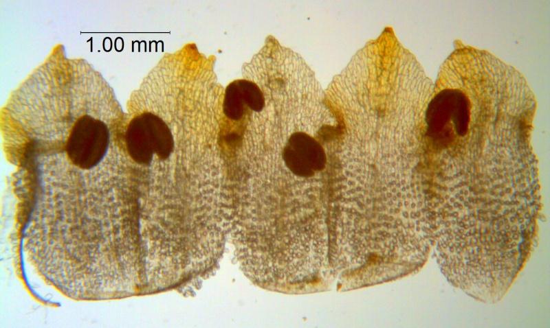Cuscuta warneri, corolla dissected
