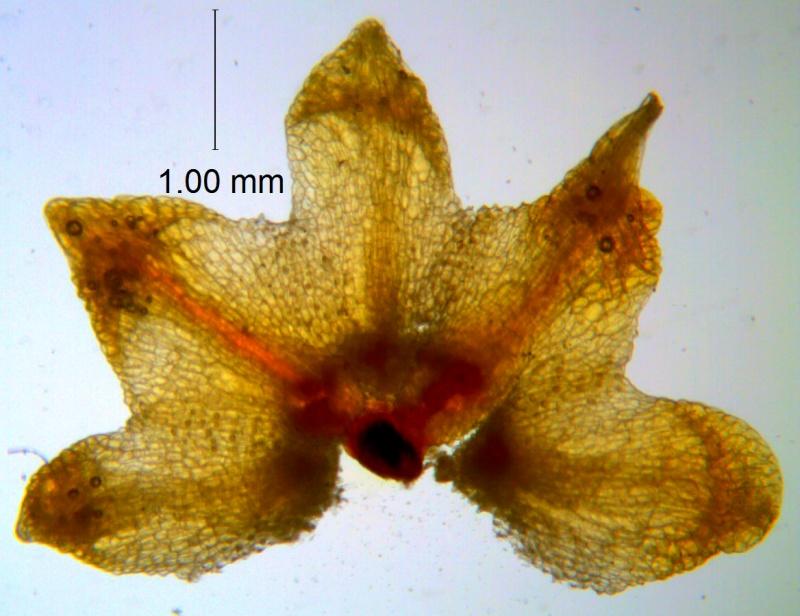 Cuscuta warneri, calyx dissected