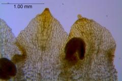 Cuscuta warneri, corolla lobes details