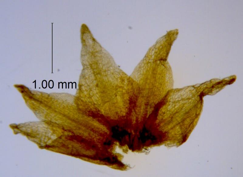 Cuscuta xanthochortos var. lanceolata, calyx dissected