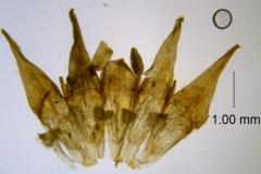 Cuscuta xanthochortos var. lanceolata, corolla dissected