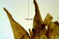 Cuscuta xanthochortos var. lanceolata, corolla lobes details
