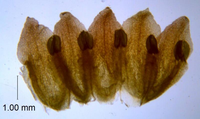 Cuscuta bella, corolla dissected