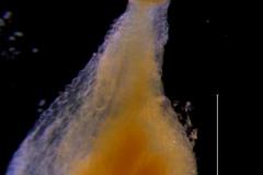 Cuscuta bella, gynoecium