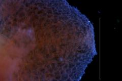Cuscuta bella, calyx lobe details
