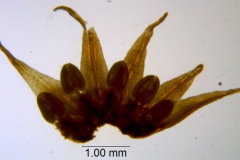 Cuscuta burrellii, corolla dissected