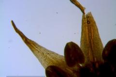 Cuscuta burrellii, corolla lobes detail
