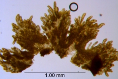 Cuscuta burrellii, scales