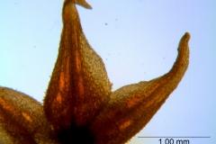 Cuscuta burrellii, calyx lobes details