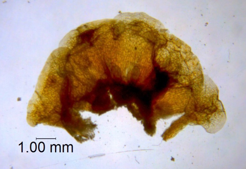 Cuscuta rugosiceps, calyx dissected