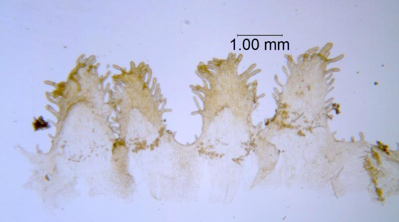 Cuscuta rugosiceps, scales